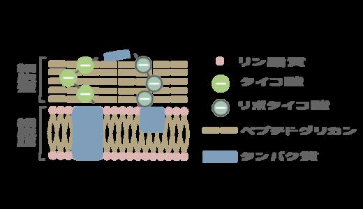 グラム陽性菌のイラスト