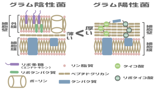 グラム陽性菌と陰性菌を比較したイラスト